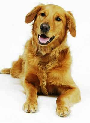 healthy_dog